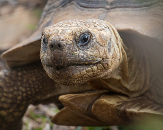 The desert tortoise is often an accurate predictor of rain.