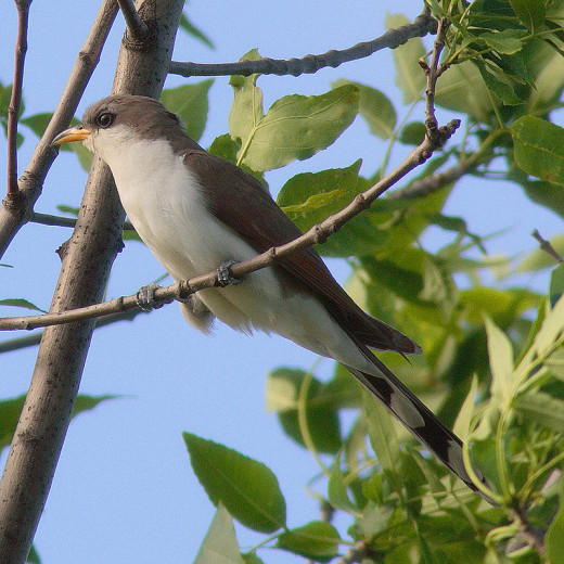 """A yellow billed cuckoo, often referred to by old timers as as """"rain bird""""."""