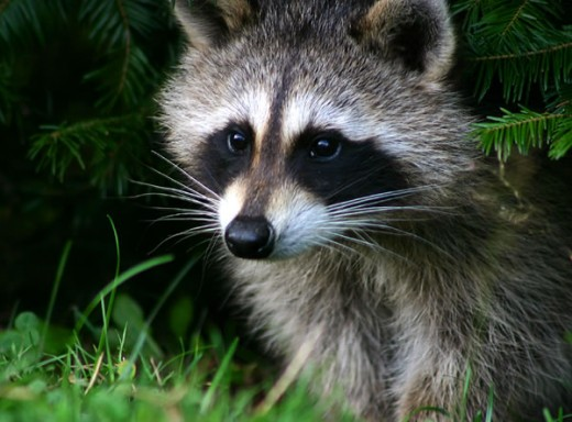 Raccoons can carry rabies
