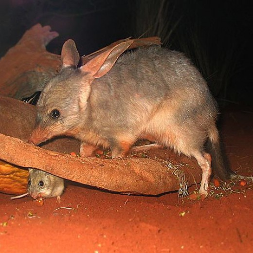 A bilby (Macrotis lagotis), with either a mouse or young offspring. Sydney Wildlife World. Photo by Derrick Coetzee.