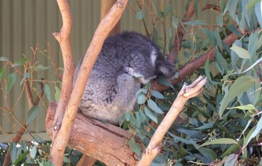 It is said that a koala sleeps more than a sloth.