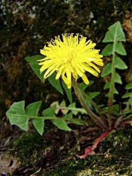 Dandelion is a good herb for detox