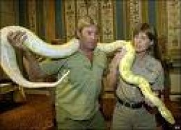 Large Albino Burmese Python.    bbc photo