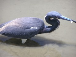 Little blue heron caught a fish.