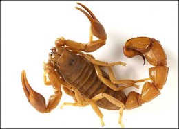 FAT TAIL Scorpion: equally venomous and lethal as deathstalker - also found in black.  bbc. news credit