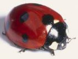 Ladybird, or Ladybug.  A Beetle:  Loved and useful.    credit dicimages.com