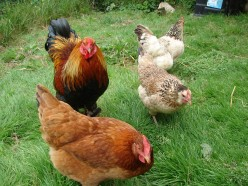 5 top tips for keeping Hens