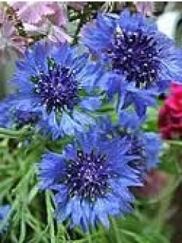 CENTAUREA  Most commonly known as BACHELOR BUTTONS
