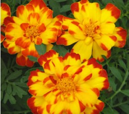 MARIGOLDS-gardener's best friend