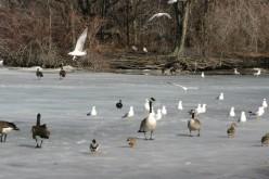 Birds on Detroit's Belle Isle  deedsphotos