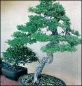 The Magical World of Bonsai