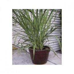 A lemongrass plant growing in a pot.