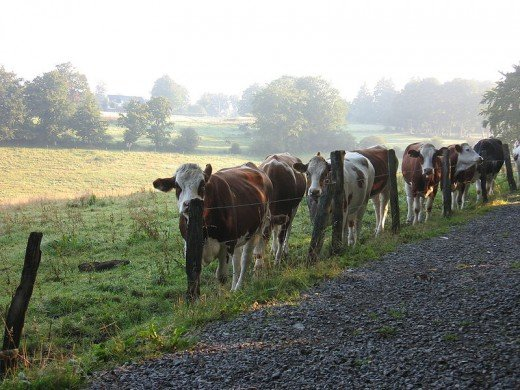 Cows in the morning by Michiel 1972