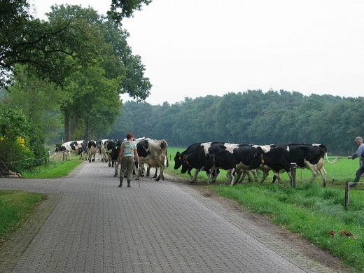 Dutch cows crossing the road by Ciell courtesy of Wiki Commons