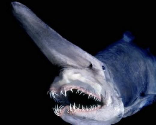 3. Goblin Shark