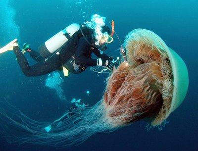 1. Nomura's Jellyfish