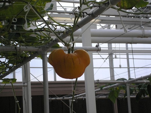A Mickey Mouse-Shaped Pumpkin at The Land