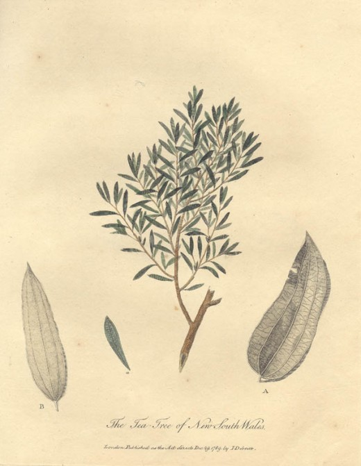 "Drawing of the tea-tree, from the 1790 book, ""Journal of a Voyage to New South Wales"" by John White"