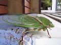 Australian green cicada