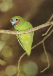 Part of this small parrot's name comes from its fondness for fig seeds. Image © Nemingha 2009.