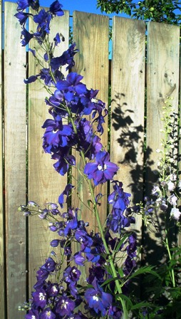 delphinium, Bob Ewing photo