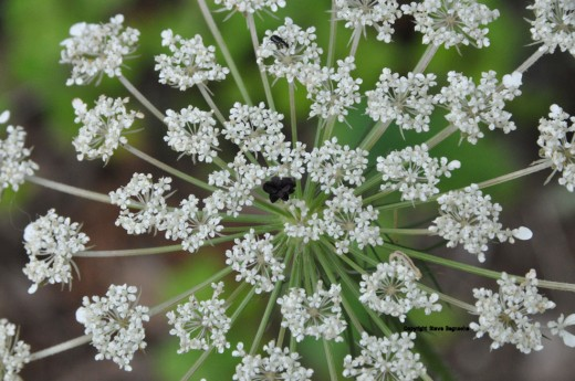 A bug explores the top of a Queen Anne's Lace.