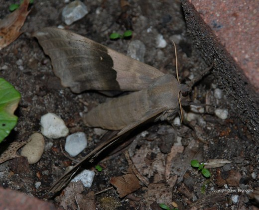 A big poplar sphinx moth (pachysphinx modesta) after being chased out of the garage.