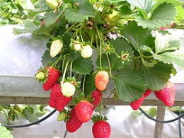 Ripe and immature strawberries