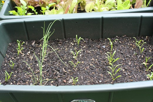 Spinach & Green Onions (second planting)