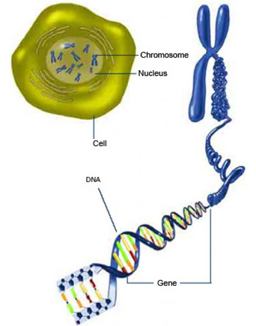 Relationship of DNA to the chromosome. National Institutes of Health (govt).