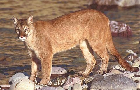 Cougars, Sonoran Desert Museum