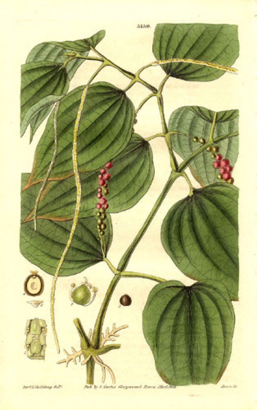 A botanical drawing of the black pepper plant and seeds, from 1832.