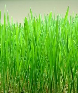 The wheat grass is slowly gaining popularity because of its health benefits.