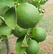 Lime (on the vine)