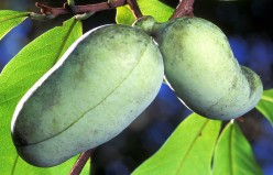Cooking With Fruit - How to Prepare Pawpaws