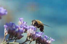 Bee collecting pollen.  Photo by Serghei Starus at Dreamstime.com