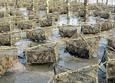 Harvesting Oysters   photo from: http://akoyapearlfarm.com/images/harvest.jpg