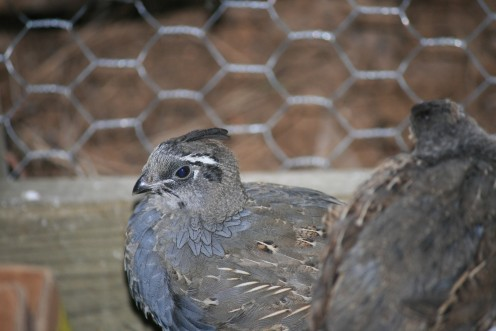 The Markings of the California Quail are darkening, their feathers showing more blue.