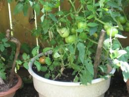 my garden, tomato plants ce