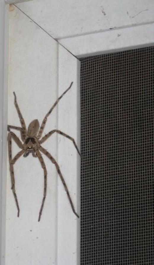 a cane spider