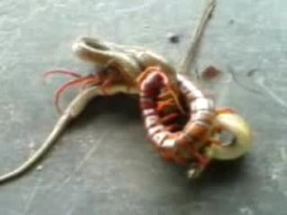 In this rivetting video, a Giant Centipede battles with and partially paralyzes what looks like a small, whip-tailed snake. See on youtube.com/user/hppowa