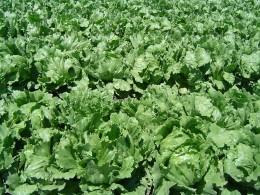 """Iceburg"" lettuce"