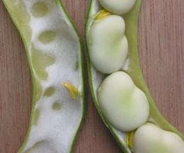 Fava or Broadbean
