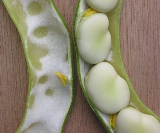Fava or Broadbean