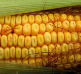 Feed Corn. Cows eat this; you shouldn't. It's very tough.