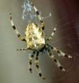 Lovely, delicate shot of Common garden Spider (UK) as seen by copyrightfree photos.  Just like Agnes!