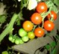 Green Cherry Tomato Pickles-Easy to make pickles