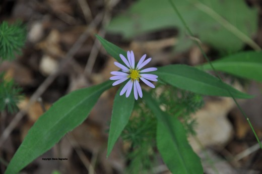 Smooth blue aster. Look closely and you may spot an ant in one of the parts of the yellow center.