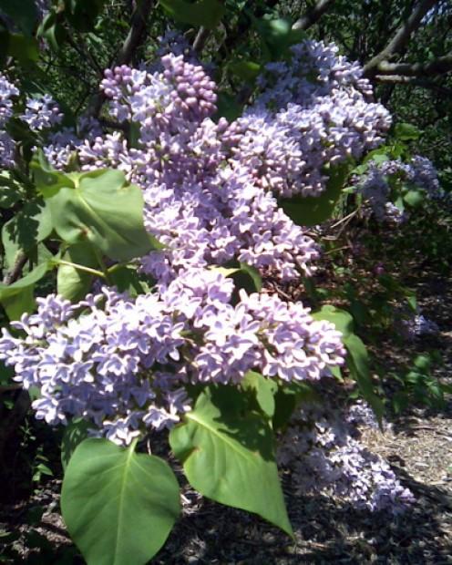 Lilacs bloom at the Brooklyn Botanic Garden.