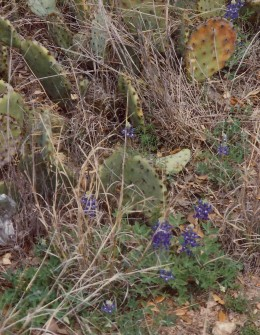 A few hardy bluebonnets mixed in with the cactus